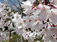 佐和山の桜