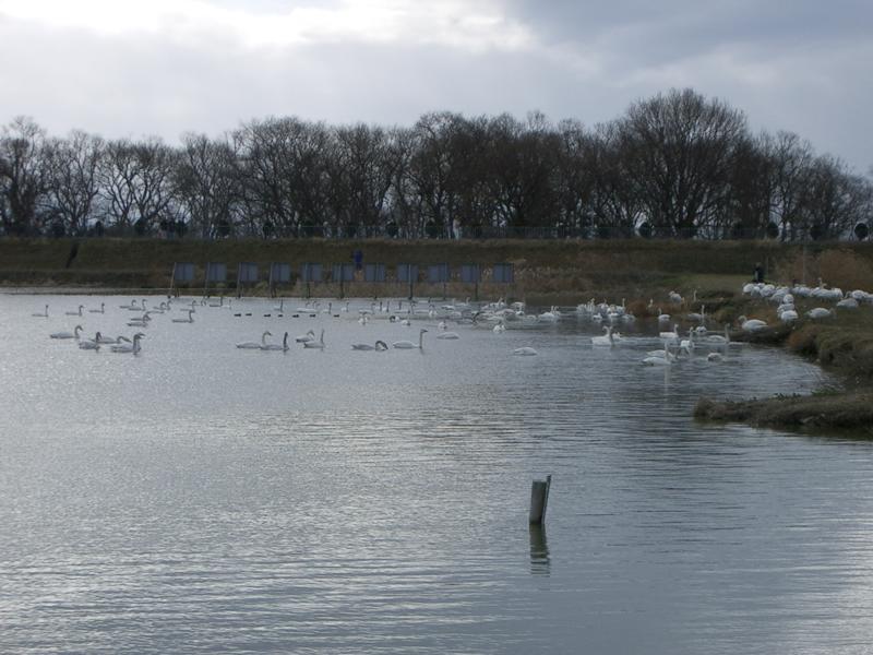 早崎内湖の白鳥